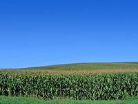 Corn Field Web