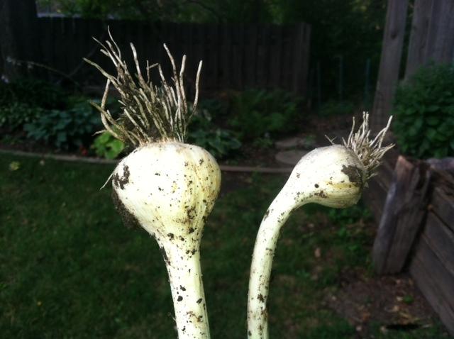 Garlic Size 2013