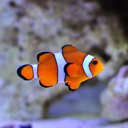 Clown Fish Holly