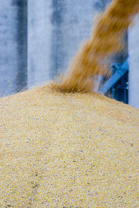 Corn_pile_closeup