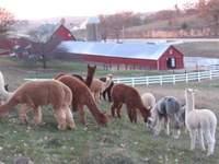 Irish_meadows_alpacas_2