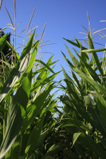 Corn_grown_rows_blue_sky